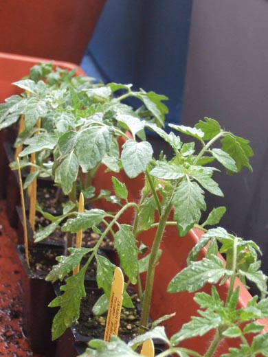 tomato plants from Plant Sale of Wasatch Community Garden